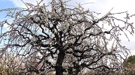ばいりん! 大阪城梅林 2020 Part1 玉垣枝垂れ(たまがきしだれ)