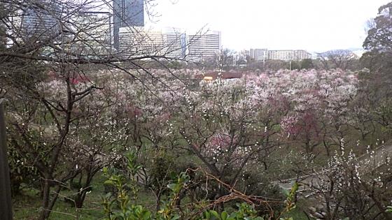 ばいりん! 大阪城梅林 2020 Part5 大阪城梅林全景
