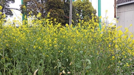 菜の花:2020年4月に大泉緑地からの帰りの道で撮影