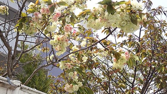 黄色い八重桜:2020年4月に近くのスーパーで撮影