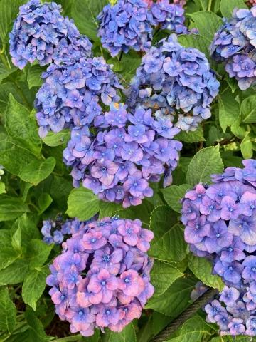 ハート型紫陽花