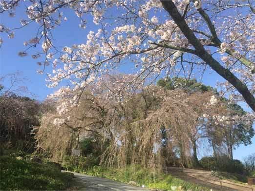 minobu-sakura-s.jpg