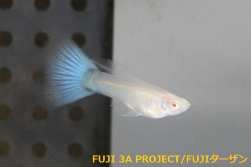 JグッピーRREAスーパーホワイト