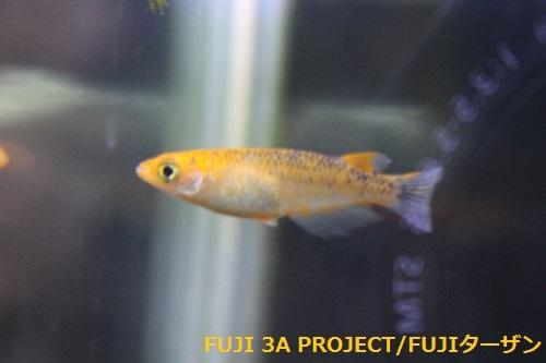 紅薊メダカ (2)