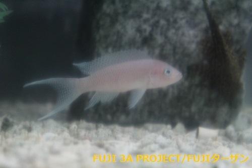 ネオランプロローグスグラキリス