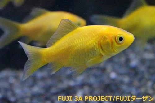 イエロー金魚