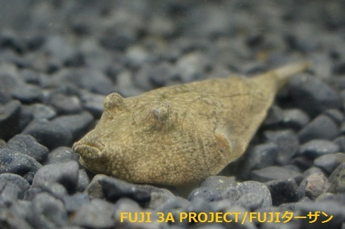 テトラオドンミウルス