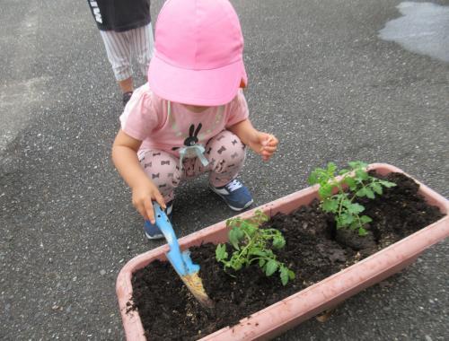 IMG_1611トマトの苗植え6月