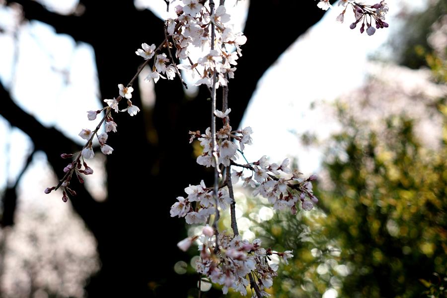 枝垂れ桜03
