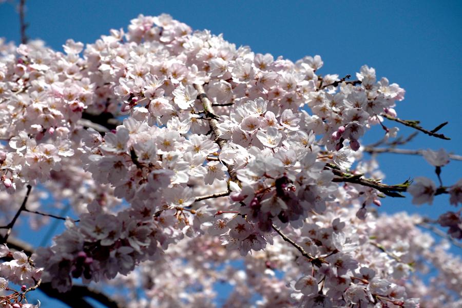 枝垂れ桜08