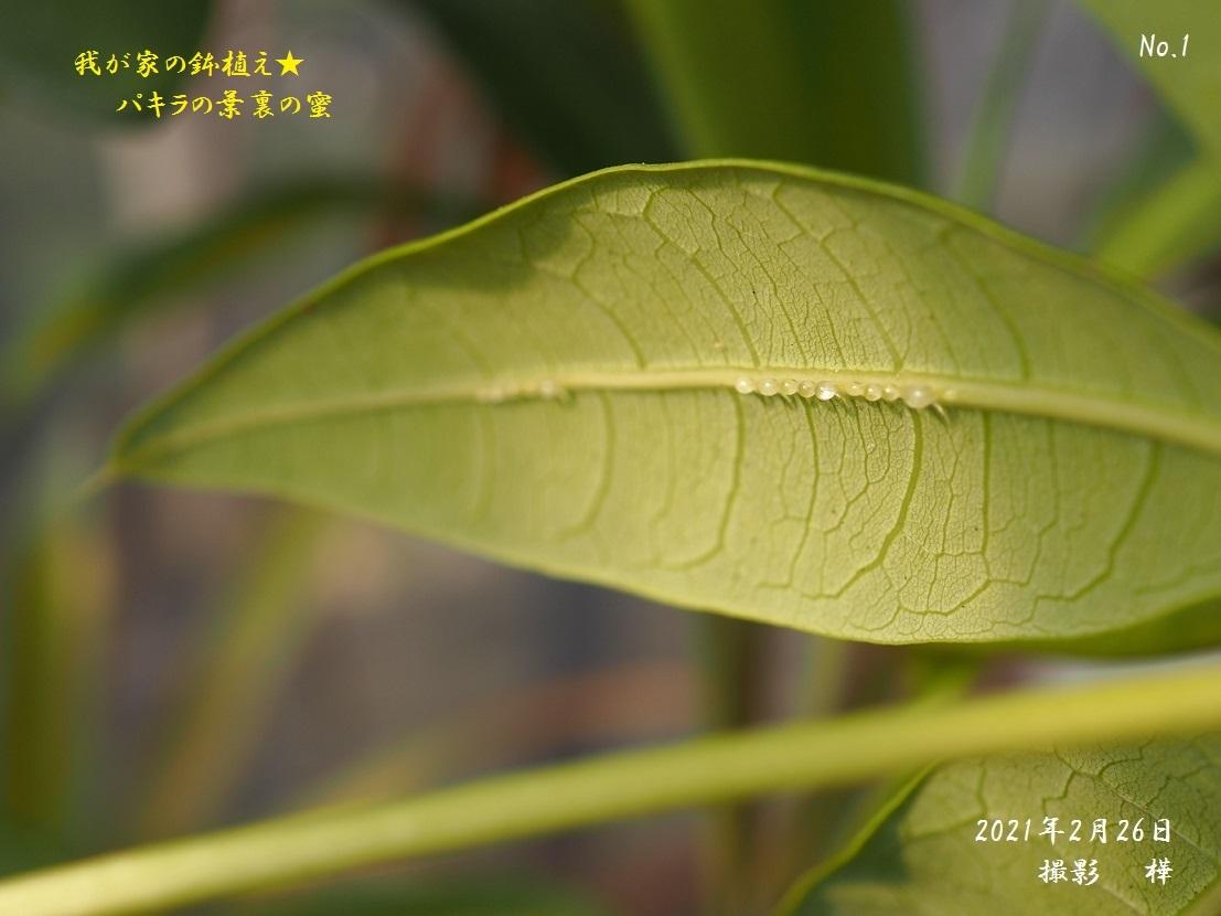 2021年2月26日撮影・パキラの葉の蜜
