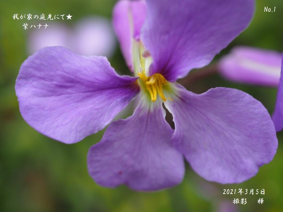 ②2021年3月5日撮影・ムラサキハナナ2