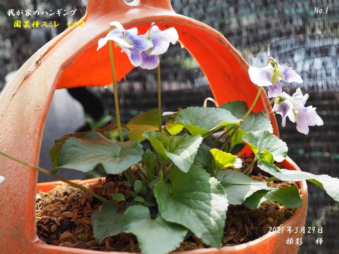 2021年3月29日園芸種ハンギングすみれ3