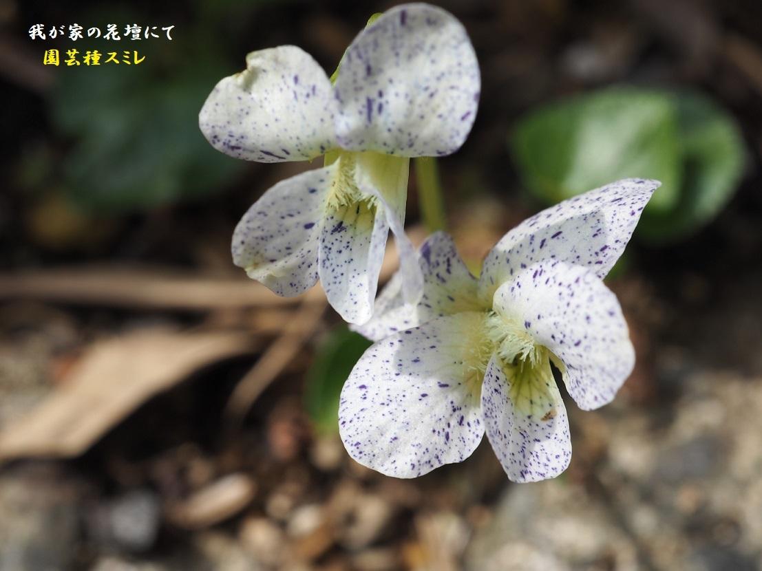 2021年3月29日撮影園芸種すみれ5
