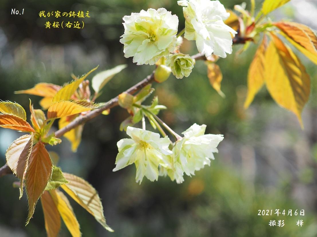 2021年4月6日撮影黄桜右近