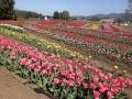 岡原花公園のチューリップを見に行ってきました。