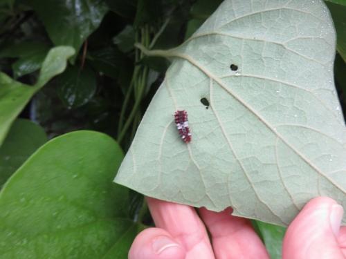 ジャコウアゲハ幼虫 VC20200628
