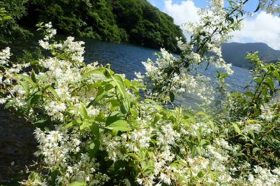 ウツギと芦ノ湖20200624_001