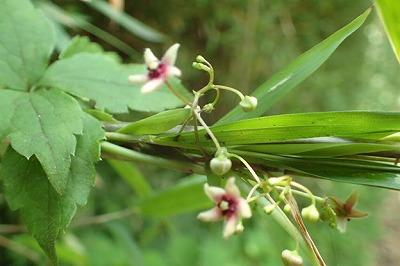 カモメヅルナガエオオ20200624_005