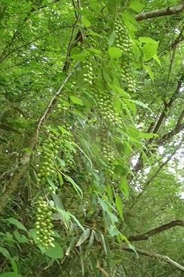 果実キブシ20200624_002