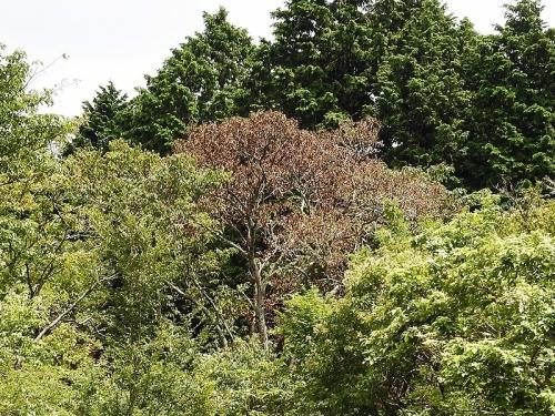自然学習路クリの木のナラ枯れ現象 VC20200814