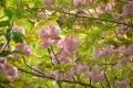 21春 八重桜
