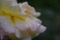 21春雨のピース
