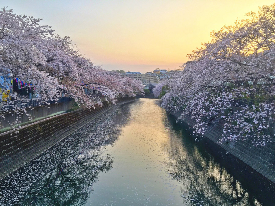 210331,薄暮の大岡川桜並木