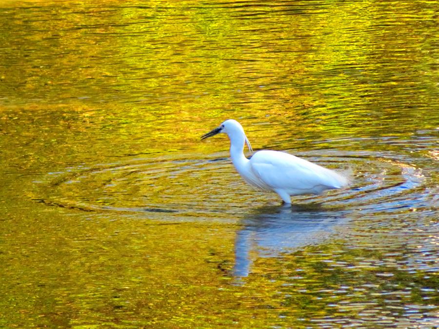 200414,田越川の白鷺2