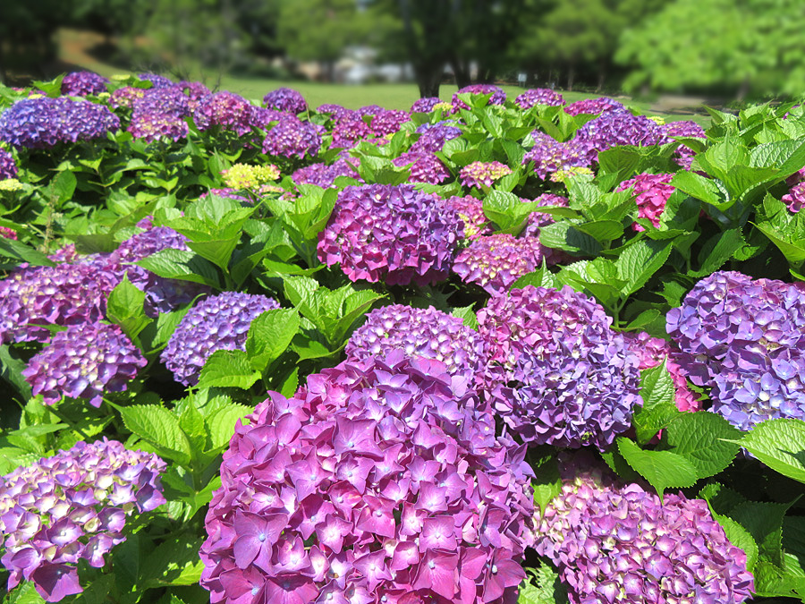 210525,清水ヶ丘公園の紫陽花1