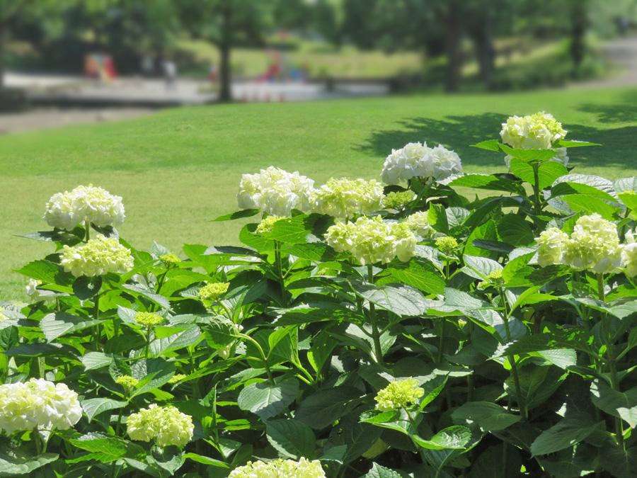 210525,清水ヶ丘公園の紫陽花2
