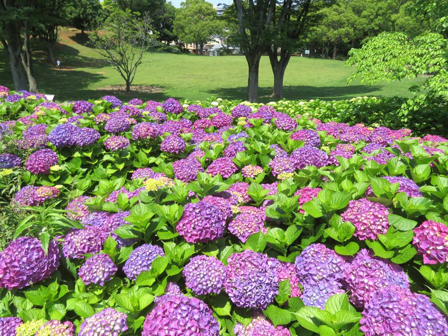 210525,清水ヶ丘公園の紫陽花6