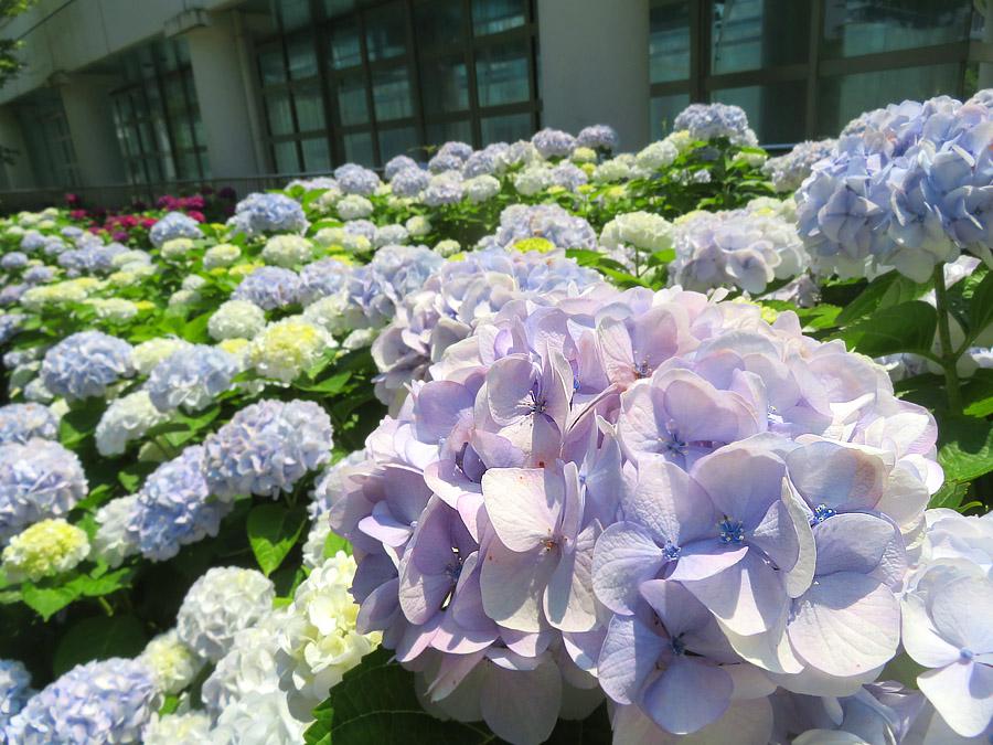 210610,晴天下の紫陽花4