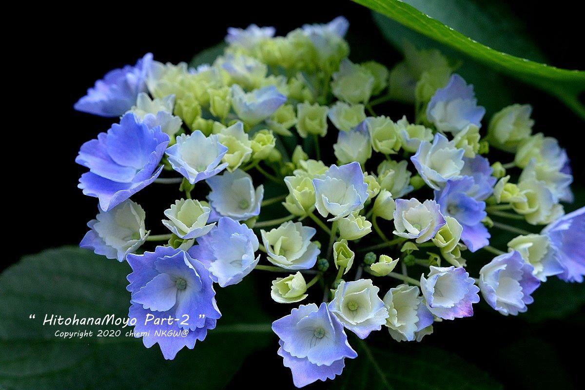 紫陽花(ハイドランジア)・ラピスラズリ(2020年)