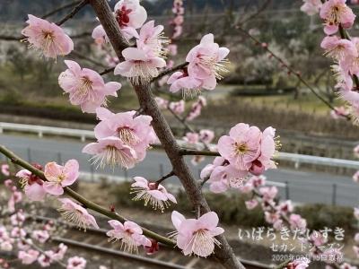 水戸の梅まつり:早咲きの紅梅、遅咲きの白梅。