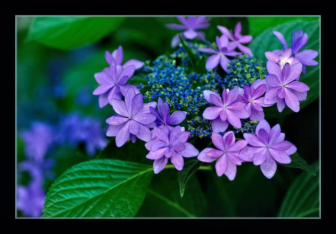 大きな額紫陽花