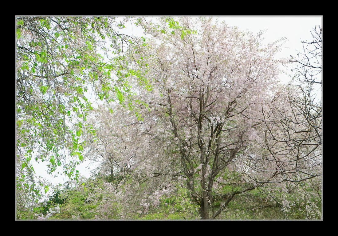 山間のしだれ桜