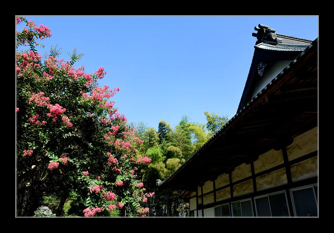 寺の百日紅