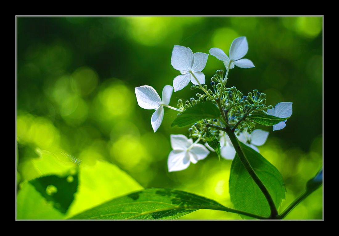 バックシャンの額紫陽花