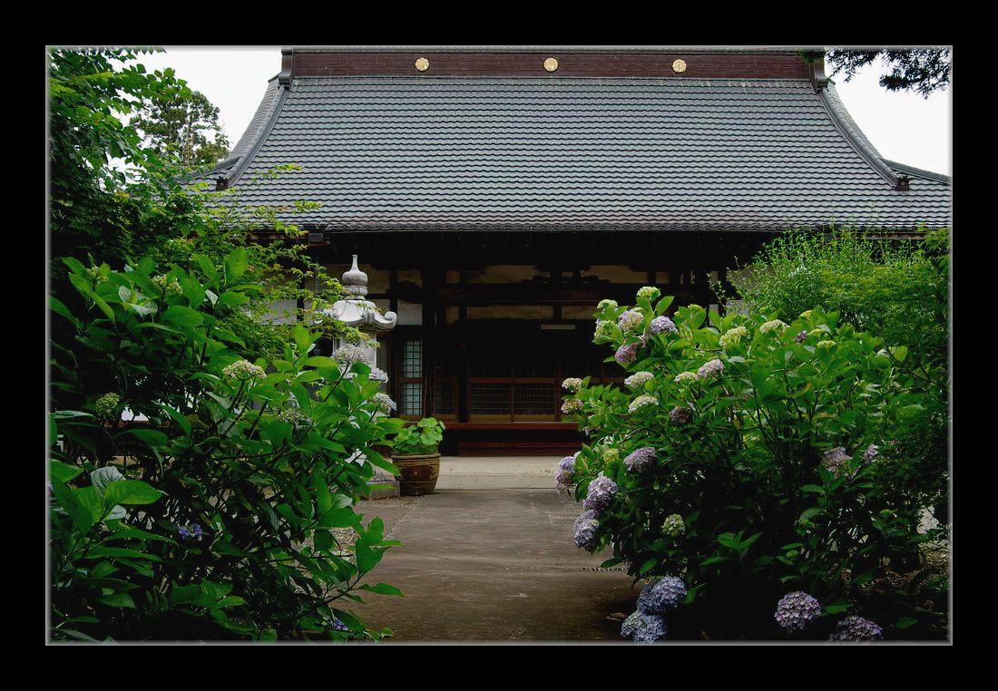 寺の紫陽花