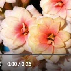 カランコエ再生動画