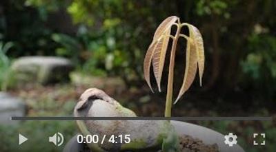 マンゴーの種まき動画2