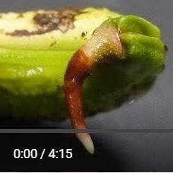 マンゴー発根動画