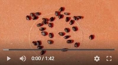 バジルの種が膨れる動画