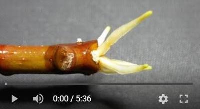 ゴムノキの挿し木動画