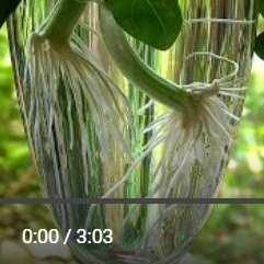 バジル挿し木動画