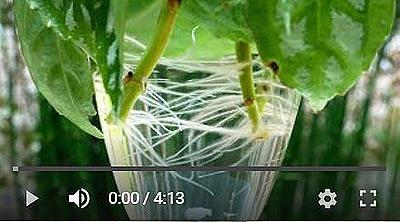 ピレアの挿し木動画