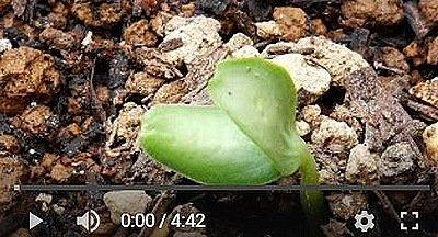メロンの種まき動画1