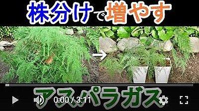 アスパラガス株分け動画