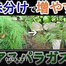アスパラガスの株分け動画